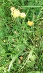 Herbst-Löwenzahn(Leontodon autumnalis(L.))