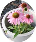Purpur-Sonnenhut(Echinacea purpurea(L.)Moench))