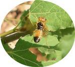 Gespinst-Blattwespe(Pamphilius betula) im Flug