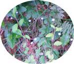 Gras-Sternmiere, Grasmiere(Stellaria graminea(L.))