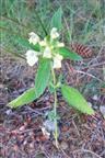 Gemeiner Hohlzahn(Galeopsis tetrahit(L.))