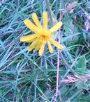 Echte Arnika(Arnica montana(L.))