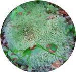 Gemeines Weißmoos(Leucobryum glaucum(Hedw.) A°ngstr.)