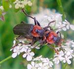 Gemeiner Weichkäfer(Cantharis fusca(L. 1758)) Paarung
