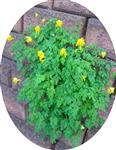 Gelber Lerchensporn(Corydalis lutea(L.)DC.)