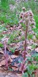Gewöhnliche Pestwurz(Petasites hybridus(L.) Gaertn.)
