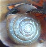 Rötliche Laubschnecke(Monachoides incarnatus(O. F. Müller 1774))