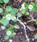Hornkraut(Cerastium(L.))