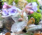 Geflecktes Lungenkraut(Pulmonaria officinalis(L.))