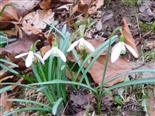 Kleines Schneeglöckchen(Galanthus nivalis(L.))