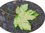 Herbstliches Blatt eines Berg-Ahorns(Acer pseudoplatanus(L.)) beim Chlorophyllabbau