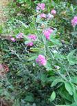 Breitblättrige Platterbse(Lathyrus latifolius(L.))