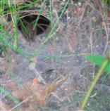 Fangnetz(Trichter) einer Trichterspinne(Coelotes terrestris)