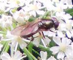 Langbauchschwebfliege(Xylota segnis)