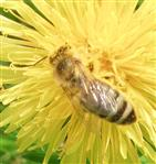Westliche Honigbiene(Apis mellifera(L. 1758))  4