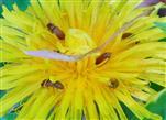 Blütenfresser(Byturus ochraceus)