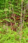 Eschen(Fraxinus excelsior(L.))-Naturverjüngung im Sommer unter Wasserstress