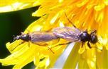 Märzfliegen(Bibio marci(L. 1758)) Paarung