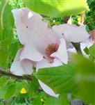 Purpur Magnolie(Magnolia liliiflora)