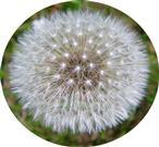 Gewöhnlicher Löwenzahn(Taraxacum officinale(L.))