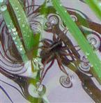 Eine Wolfsspinne(Pardosa lugubris(Walckenaer 1802)) hat sich auf eine Wasseroberfläche begeben, als wollte sie mit Wasserläufern(Gerris) im Insektenfressen konkurrieren?