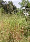 Landreitgras(Calamagrostis epigeios((L.) Roth)