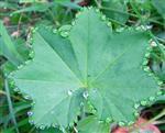 Guttation eines Blattes des gewöhnlichen Frauenmantels(Alchemilla vulgaris(L.))