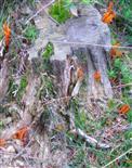 Klebriger Hörnling bzw. klebriges Schönhorn(Calocera viscosa(Pers. ; Fr.)Fr.)