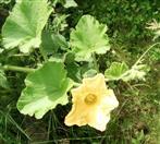 Blüte eines Kürbis(Cucurbita pepo(L.))