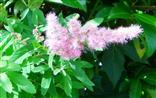 Blüte eines Spierstrauches(Spiraea salicifolia(L.))