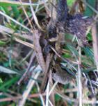 Weibchen der gemeinen Strauchschrecke(Pholidoptera griseoaptera(De Geer 1773)) 1