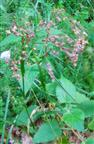 Waldhainsimse(Luzula sylvatica(Huds.)Gaudin)