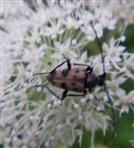 Gefleckter Blütenbock(Pachytodes cerambyciformis(Schrank 1781)) 1