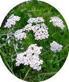 Gemeine Schafgarbe(Achillea millefolium ssp. millefolium(L.))