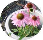 Purpur-Sonnenhut(Echinacea purpurea(Moench))