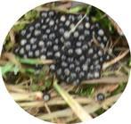 Eiballen einer Erdkröte(Bufo bufo(L. 1758)) [Totfund]