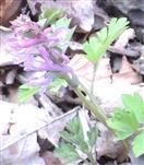 Hohler Lerchensporn(Corydalis cava((L.) Schweigg. & Körte)