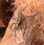 Wolfsspinne(Pardosa lugubris)