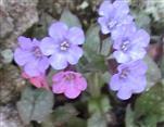 Blüten des gefleckten oder echten Lungenkrautes(Pulmonaria officinalis(L.))