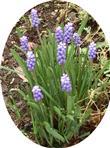 Weinbergs-Traubenhyazinthe(Muscari neglectum(Guss. ex. Ten))