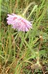 Acker-Witwenblume(Knautia arvensis(L.)Coult.)
