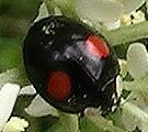 eine Farbmorphe des asiatischen Marienkäfers(Harmonia axyridis(Pallas 1771))