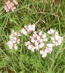 Echter Baldrian(Valeriana officinalis(L.))