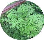 Ähriges Christophskraut(Actaea spicata(L.))