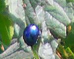 Blattkäfer(Chrysolina coerulans)