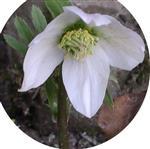 Schneerose(Helleborus niger(L.))