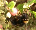 Dunkle Erdhummel(Bombus terrestris(L. 1758)) an Heidelbeere(Vaccinium myrtillus(L.))