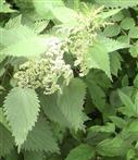 Brennnessel(Urtica dioica(L.)) blühend