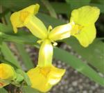 Blüte einer Sumpf-Schwertlilie(Iris pseudacoris(L.))