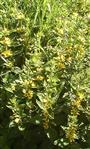 Punktierter Gilbweiderich(Lysimachia punctata(L.))